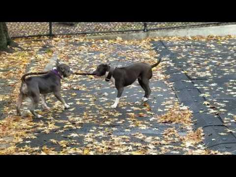 Duke & Juno playing with big branch lol
