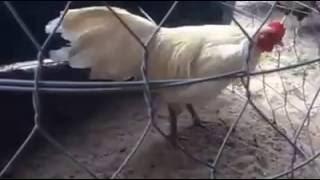Chicken Videos - I love chickens! Farm Animals