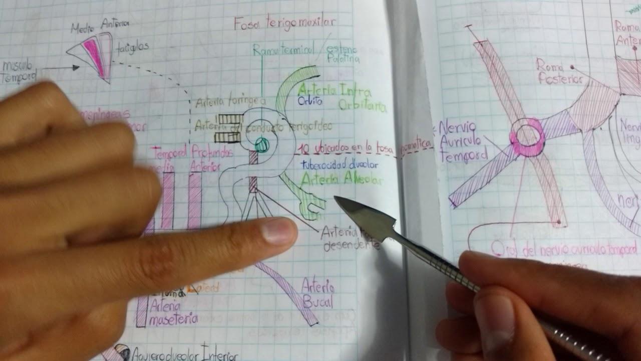 Fosa cigomatica - Capitulo 2 - Anatomía según el Davish - YouTube