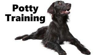 How To Potty Train A Flat Coated Retriever Puppy - House Training Flat-coated Retriever Puppies