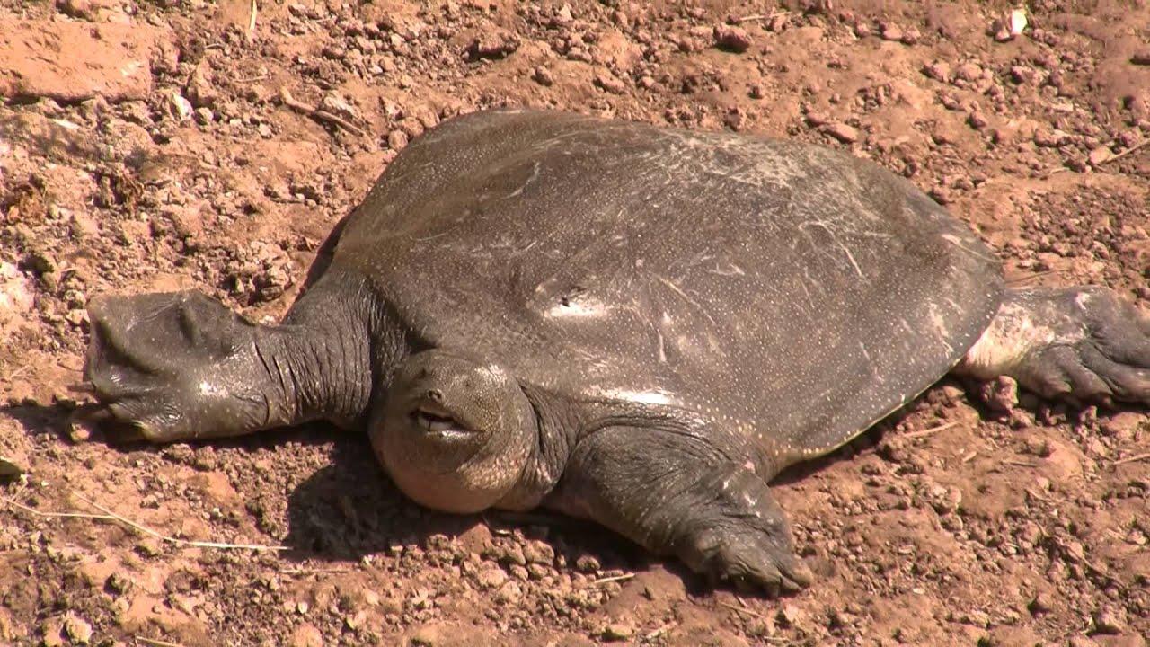 как черепаха выглядит без панциря