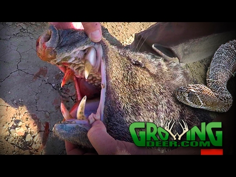 Bow Hunting Wild Hogs And Javelina At The Texas Border (#378) @GrowingDeer.tv