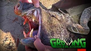 Gambar cover Bow Hunting Wild Hogs and Javelina at the Texas Border (#378) @GrowingDeer.tv