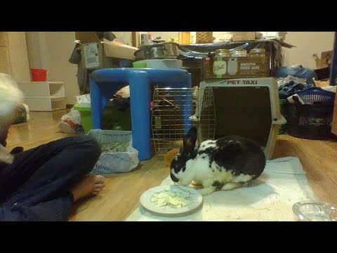 Rabbit with Fractured Knee Cap Recovered from Ear Infection Start of Week 7