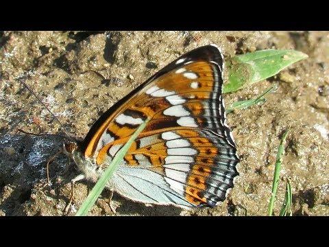Яркая бабочка – Ленточник тополевый, Poplar Admiral