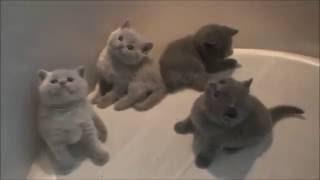 Британская короткошёрстная кошка кошечки котята