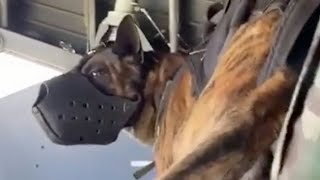 Airborne Dog Jumps From Plane With Special Forces
