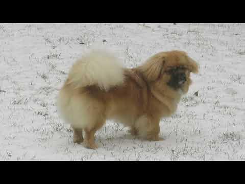 Finlay the Tibetan Spaniel - fun in the snow