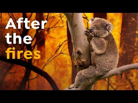 Koalas Extinct by 2050?   Australia's Wildfires Impact