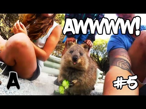 Quokka, CUTEST and HAPPIEST animal in the WORLD!  - #5 | Work and Travel Australia
