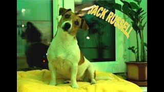 Реакция Джек Рассела на голоса разных животных СЛУХ СОБАКИ