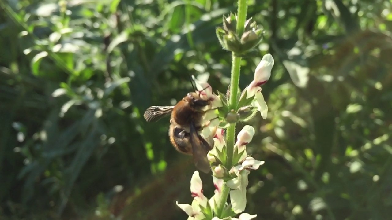 Garten-Wollbiene und andere Blütenbesucher - YouTube