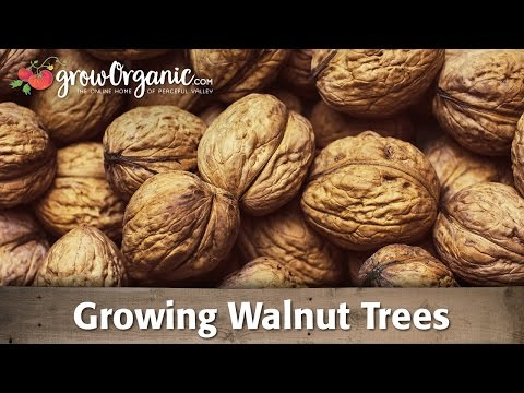 Growing Organic Walnut Trees - YouTube