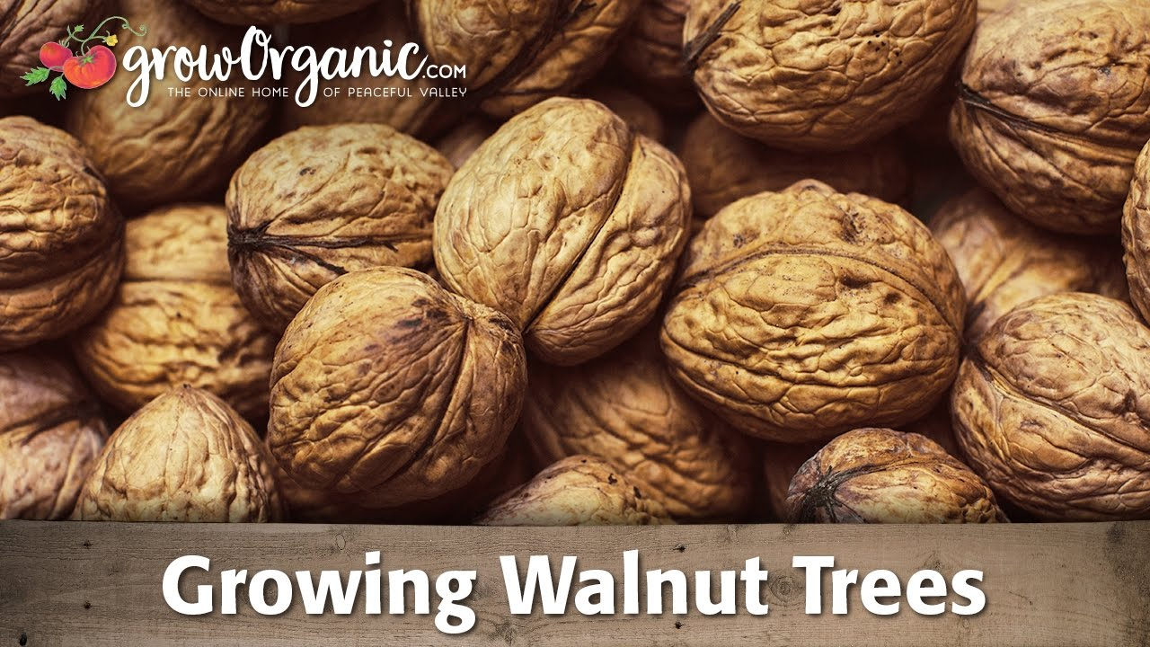 Growing Organic Walnut Trees