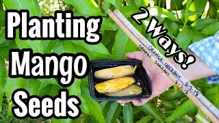 Planting 'Orange Sherbet' Mango Seeds: 2 Ways!