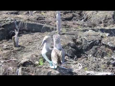 Голубоногие олуши. Галапагосские острова.