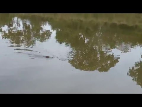 Fun with a Limpopo river crocodile