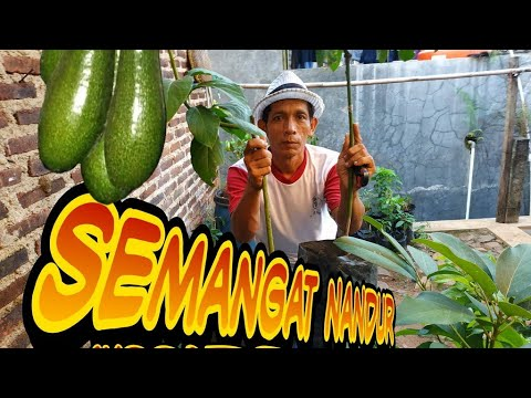 step before the avocado growing season | langkah sebelum tanam alpukat