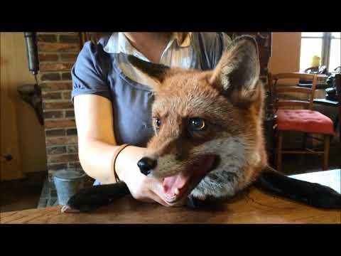 Insolite : Chantal vit avec un renard apprivoisé dans le Perche