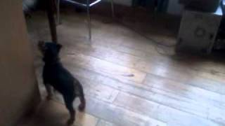 Mini Yorkshire Terrier Steals Ball From Siberian Husky.