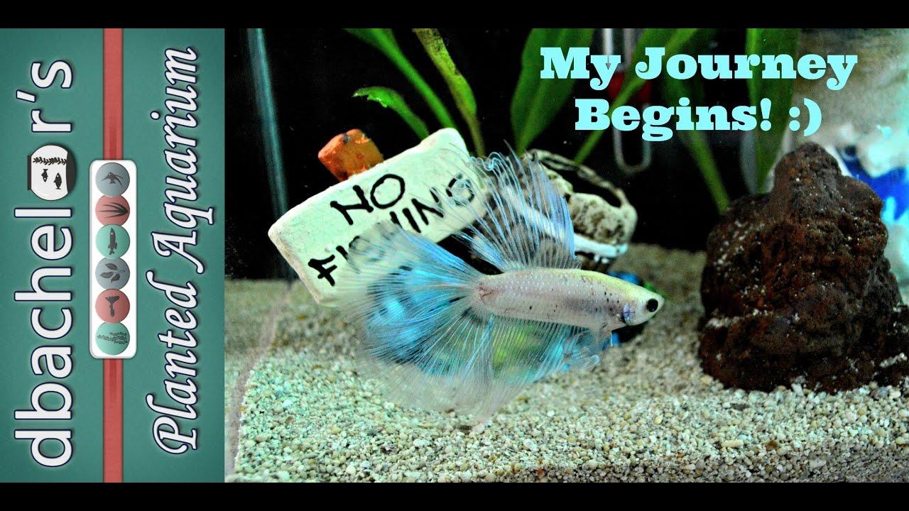 journey of the betta fish