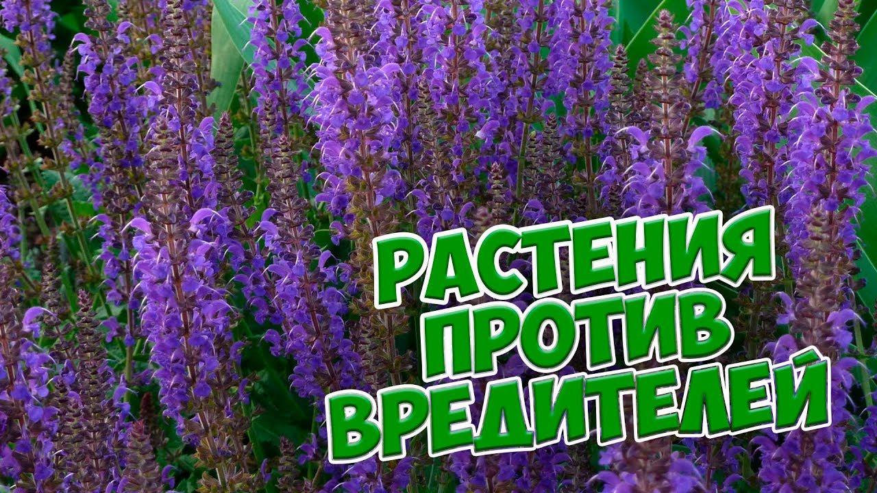 Растения против насекомых вредителей