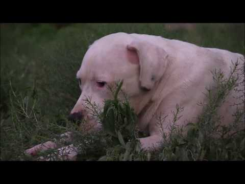 Neglected Dogo Argentino Learns How to Play (Dogo Argentino vs. Pit mix)