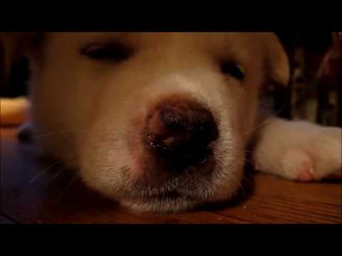 akita-puppy---growing-up-(8-weeks-to-1-year)