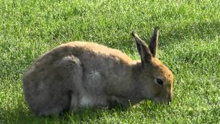 The Irish Hare: A Legend In Peril