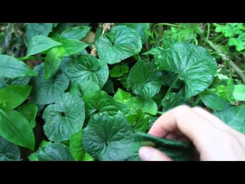 Shy, Sweet Violet: Medicinal Herb, Viola Odorata.