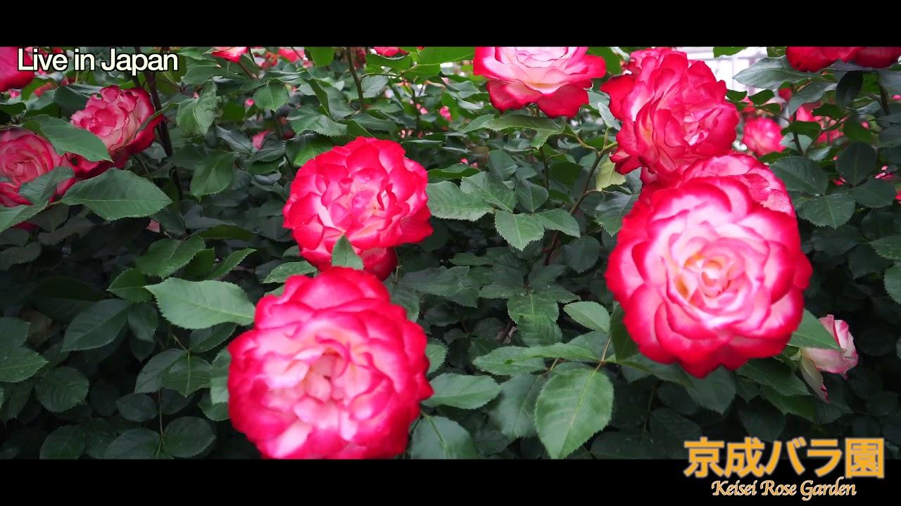 京成バラ園_ Keisei Rose Garden_ Live In Japan