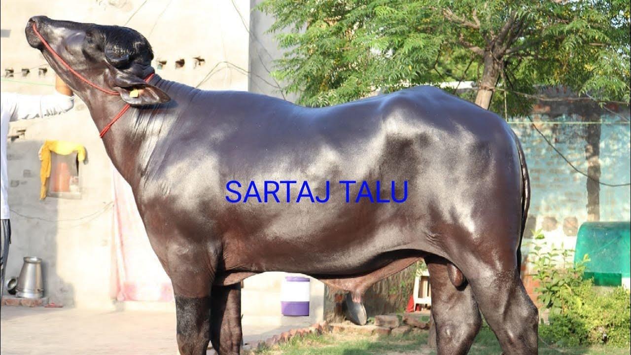 Sartaj TaluSuper Murrah Bull,Mother milk 27 800kg,Father 28 Time