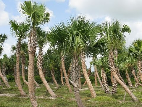 Cabbage Palm Tree Sabal palmetto YouTube
