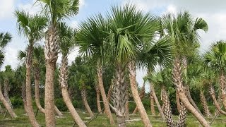 Cabbage Palm Tree - Sabal palmetto