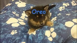 Oreo Pomsky Puppy Photo Timeline At Katiebrooke Kennels