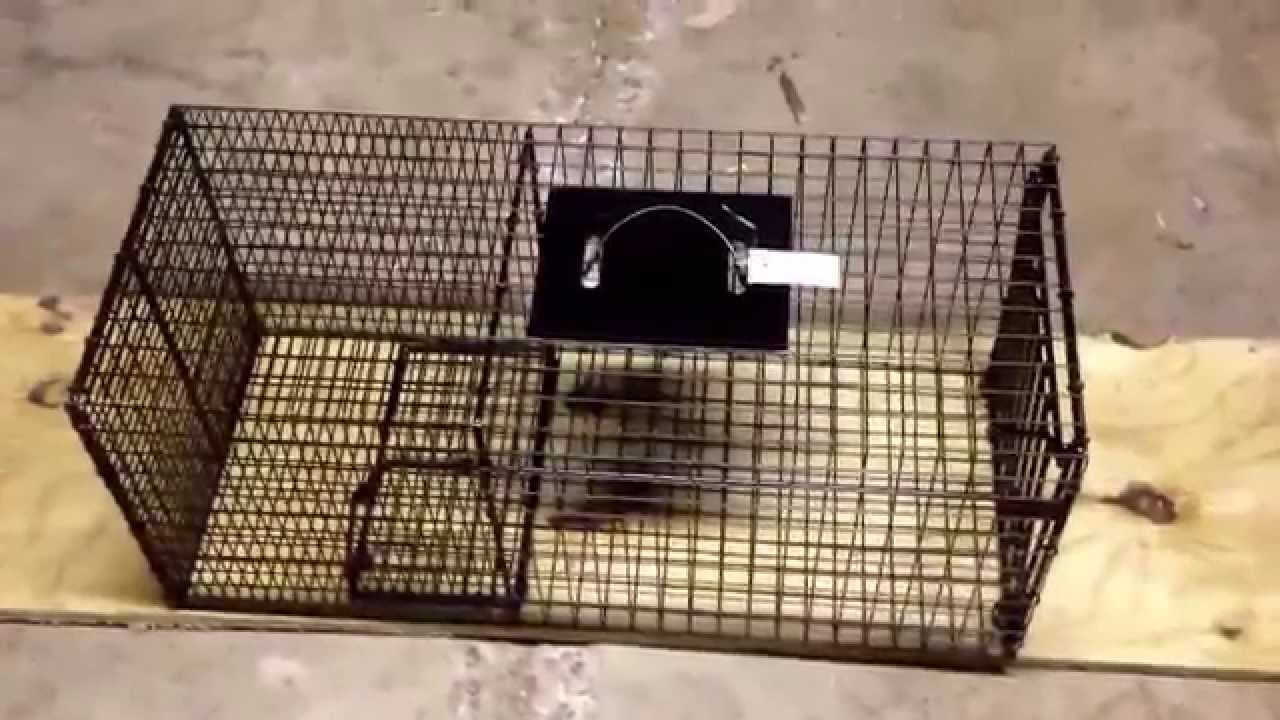 Image result for Bridger Raccoon cage trap