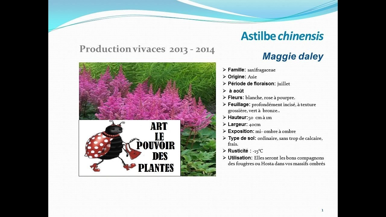 astilbe chinensis maggie daley: plante vivace - youtube