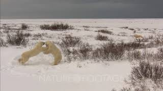Polar Bear Cubs Play Fighting, Another In Distance