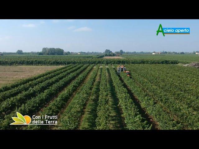 Puntata del 5/9/21 – 2° parte –  La vendemmia dei bianchi in Romagna