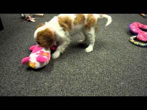 Annabelle 8 week old Cavalier King Charles Spaniel