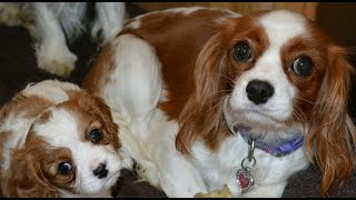 Happy Cavalier King Charles Spaniels Puppies And Adults