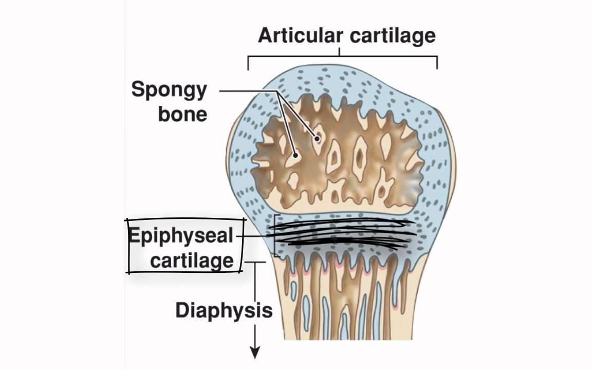 Ossification Definition Anatomy