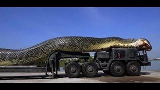 Гиганты животного мира. Самая большая змея