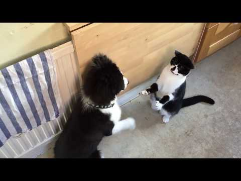 Ding Ding! Cat and dog boxing. Who are you going for? Mike Tyson or Lennox Lewis (round 1)