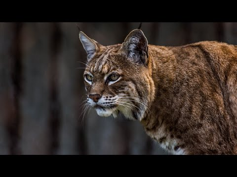 None - VIDEO : Connecticut Man Attacked By Bobcat On Golf Course