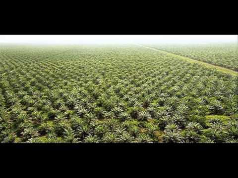 Palm Oil - An Environmental Disaster - Ben Dessen