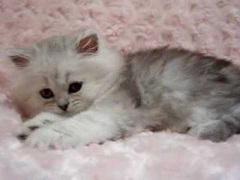 Phoebe - Shaded Silver Female Persian Kitten - YouTube