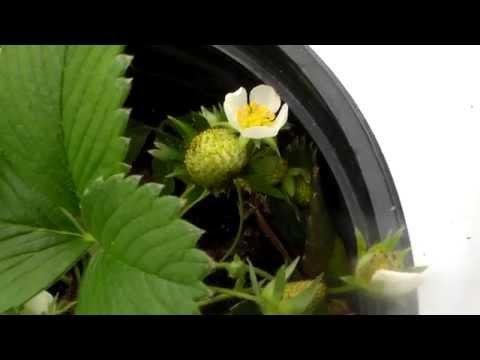 Alpine Strawberry , Tiny Strawberries