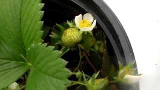 Alpine Strawberry , Tiny Strawberries