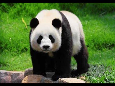 11 حقيقة مخفية عن دب الباندا Youtube